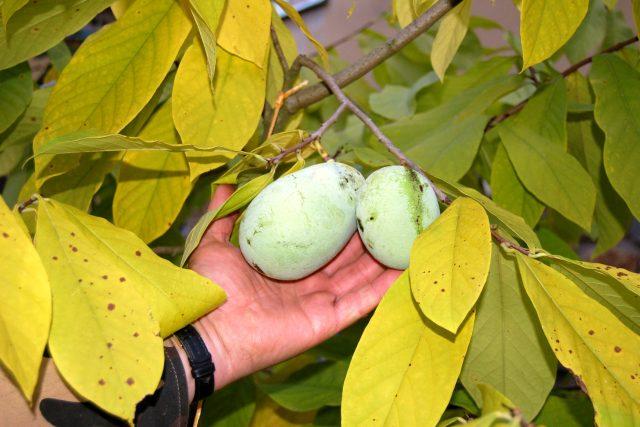 Plody banánu severu, muďoulu trojlaločného