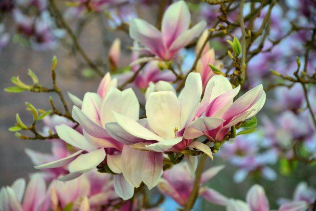 Magnolie | foto: Fotobanka Pixabay