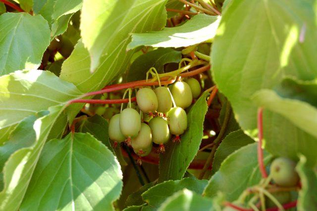 Actinidia arguta, odrůda Weiki