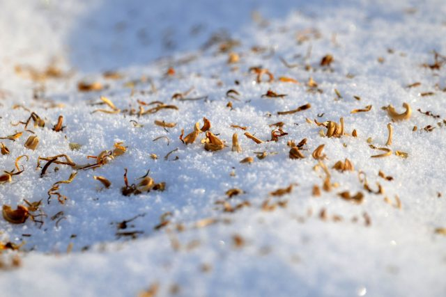 Setí na sníh, měsíček lékařský