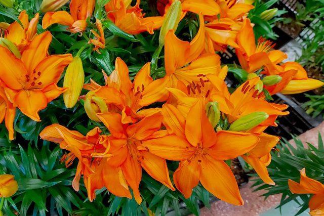 Některé lilie se sázejí na jaře,  jiné na podzim | foto: Jolana Nováková,  Český rozhlas