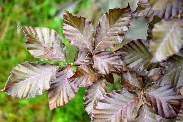 Fagus sylvatica 'Atropurpurea' - Buk lesní 'Atropurpurea' | foto: Jolana Nováková,  Český rozhlas